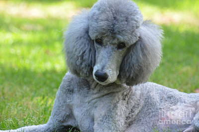 Photograph - Silver Standard Poodle by Maria Urso
