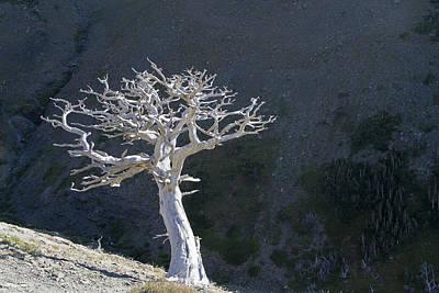 Photograph - Silver Tree Glacier Park Montana by Waterdancer