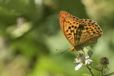 Photograph - Silver Washed Fritillary by Wendy Cooper