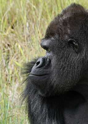 Photograph - Silverback Gorilla 1 by Ernie Echols