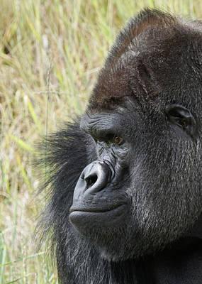Photograph - Silverback Gorilla 11 by Ernie Echols