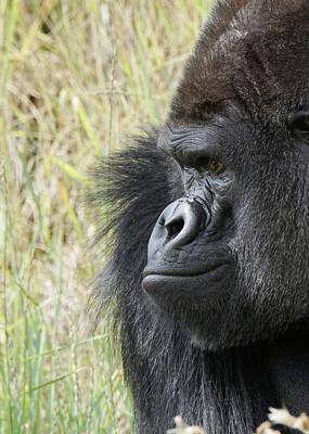 Photograph - Silverback Gorilla 12 by Ernie Echols