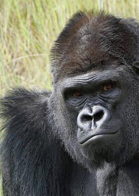 Photograph - Silverback Gorilla 13 by Ernie Echols