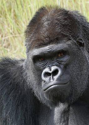 Photograph - Silverback Gorilla 14 by Ernie Echols