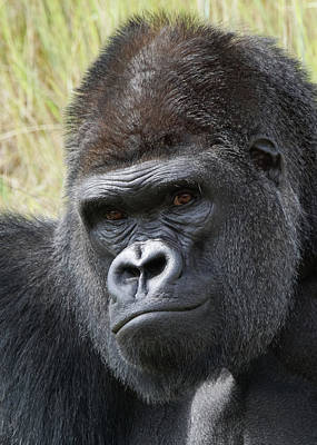 Photograph - Silverback Gorilla 15 by Ernie Echols