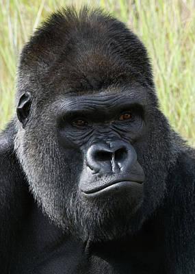 Photograph - Silverback Gorilla 16 by Ernie Echols