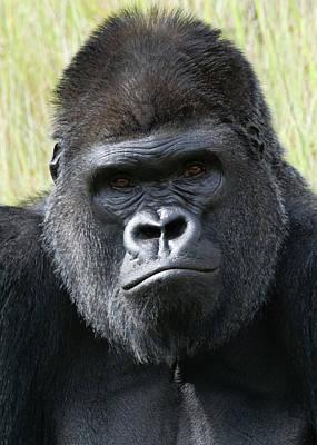 Photograph - Silverback Gorilla 17 by Ernie Echols