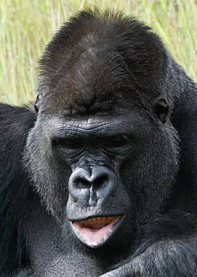 Photograph - Silverback Gorilla 18 by Ernie Echols