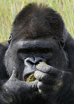 Photograph - Silverback Gorilla 19 by Ernie Echols