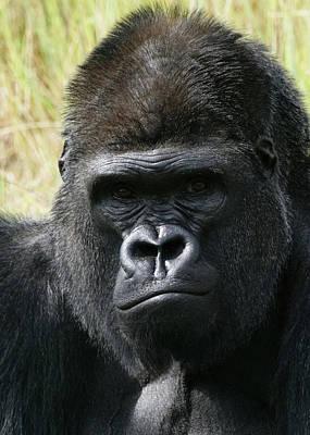 Photograph - Silverback Gorilla 2 by Ernie Echols
