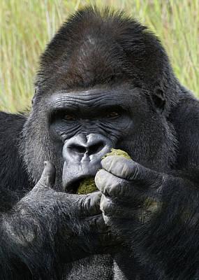 Photograph - Silverback Gorilla 20 by Ernie Echols