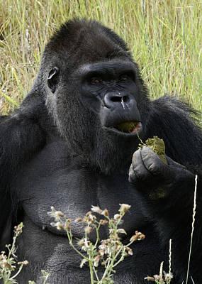 Photograph - Silverback Gorilla 21 by Ernie Echols