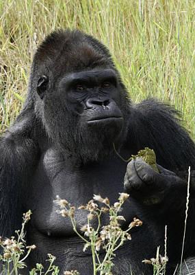 Photograph - Silverback Gorilla 22 by Ernie Echols