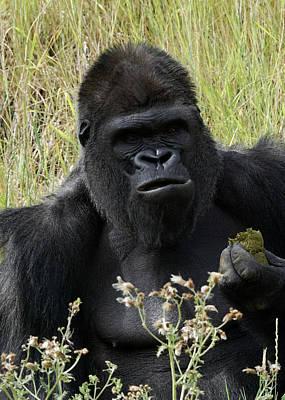 Photograph - Silverback Gorilla 23 by Ernie Echols