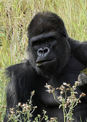 Photograph - Silverback Gorilla 24 by Ernie Echols