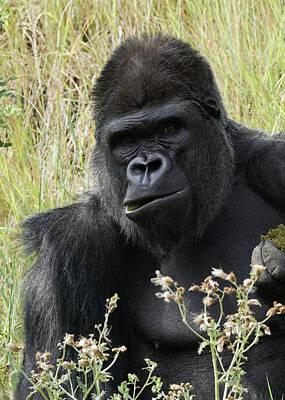 Photograph - Silverback Gorilla 25 by Ernie Echols
