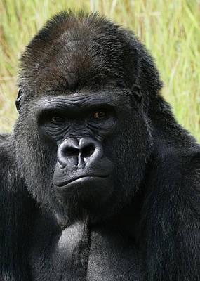 Photograph - Silverback Gorilla 3 by Ernie Echols