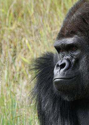 Photograph - Silverback Gorilla 4 by Ernie Echols