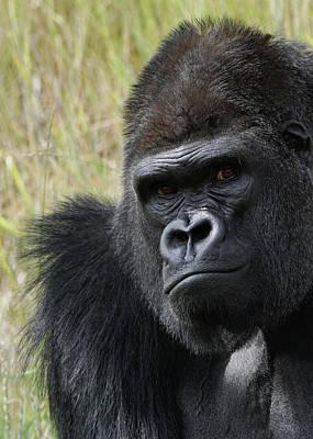 Photograph - Silverback Gorilla 5 by Ernie Echols