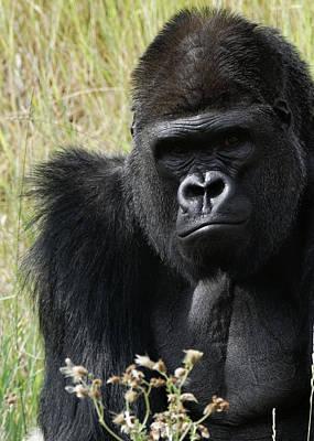Photograph - Silverback Gorilla 6 by Ernie Echols