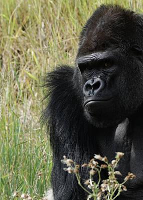 Photograph - Silverback Gorilla 8 by Ernie Echols