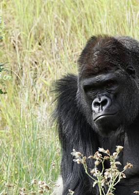 Photograph - Silverback Gorilla 9 by Ernie Echols