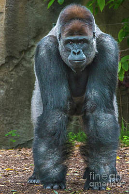 Photograph - Silverback Gorilla by Andrew Michael