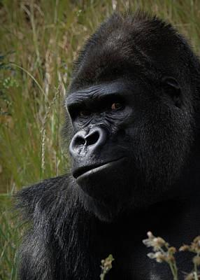 Photograph - Silverback Gorilla by Ernie Echols