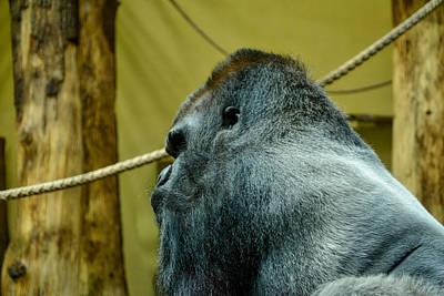 Photograph - Silverback Gorilla by Ingrid Dendievel