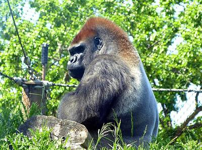 Photograph - Silverback Gorilla by Will Borden