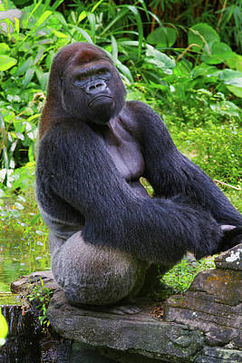 Photograph - Silverback King by Arthur Dodd