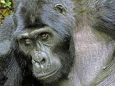 Photograph - Silverback Mountain Gorilla by Dennis Cox WorldViews