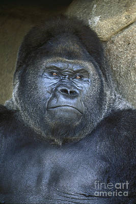 Photograph - Silverback Portrait by Paul W Faust -  Impressions of Light