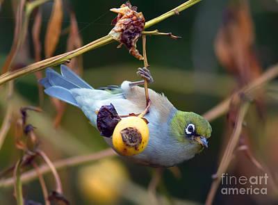 Australian Wildlife Photograph - Silvereye Feeding On Loquat Fruit by Bill  Robinson