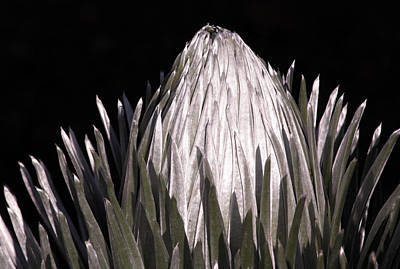 Photograph - Silversword I by Robin Street-Morris