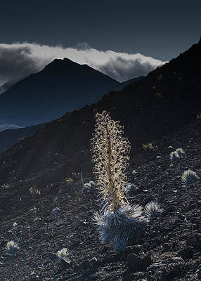 Photograph - Silversword by Robert Potts