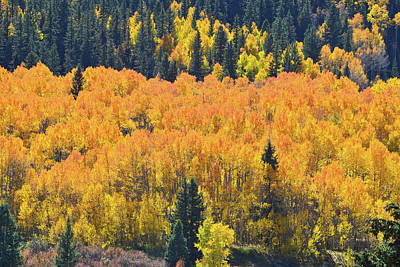 Photograph - Silverton Aspen Hillside by Ray Mathis