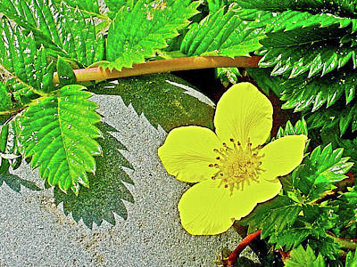 Photograph - Silverweed On Cape Lookout, Oregon by Ruth Hager