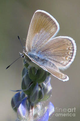 Photograph - Silvery Blue Butterfly by Frank Townsley