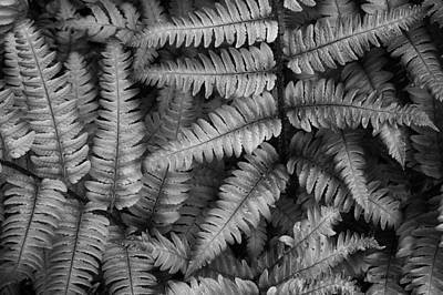 Photograph - Silvery Ferns Bw by David Gordon