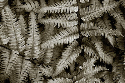 Photograph - Silvery Ferns by Dave Gordon