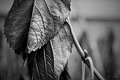 Photograph - Silvery Leaves IIi by David Gordon