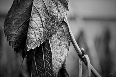 Photograph - Silvery Leaves IIi by David Gordon