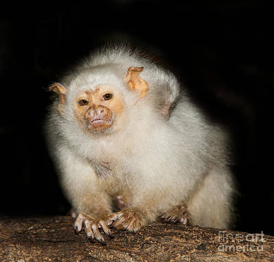 Parental Care Photograph - Silvery Marmoset Female by Gerard Lacz