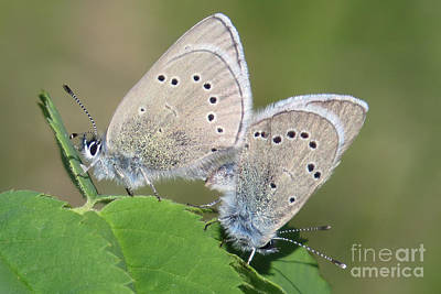 Photograph - Silvery Pair by Frank Townsley