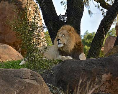 Photograph - Simba by Carol Bradley