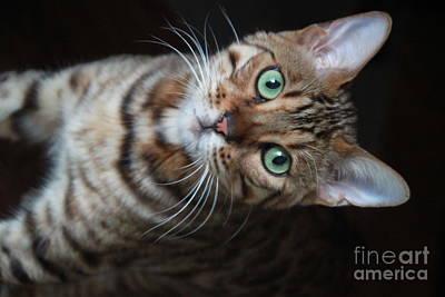 Photograph - Simba The Bengal Cat by Jennifer E Doll