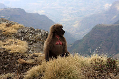 Photograph - Simien Mountain Gelada Baboon by Aidan Moran