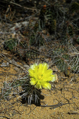 Travel Rights Managed Images - Simon Canyon Cactus Flower Royalty-Free Image by Jerry McElroy