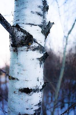 Photograph - Simple Aspen No.1 by Desmond Raymond